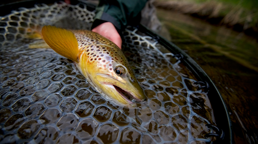 How to Tell What Trout Are Feeding On